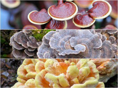 shiitake mushroom health benefits